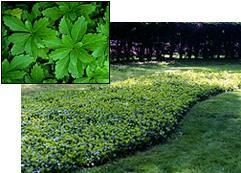 Green Carpet Pachysandra  Pachysandra Green Carpet