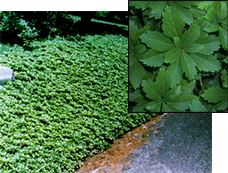 Bank with Pachysandra