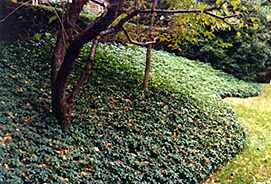 Bank planted with Pachysandra