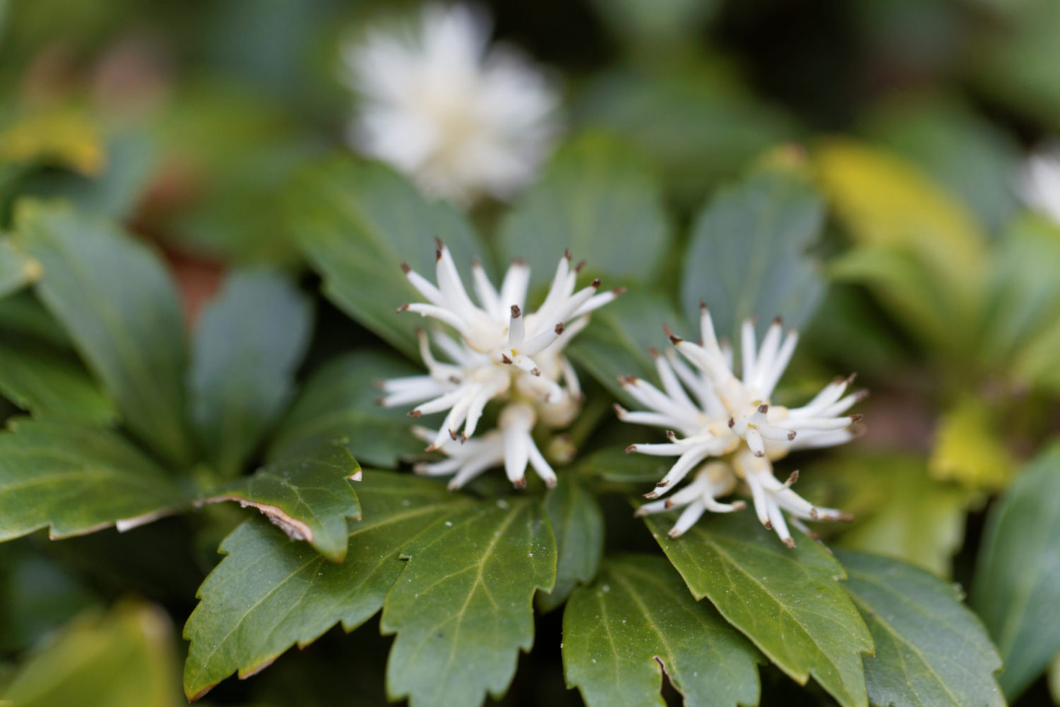 Remember Once Elished A Pachysandra Planting Will Eliminate Gr Cutting And Weeding Your Lawn Work Stops At The Edge Of